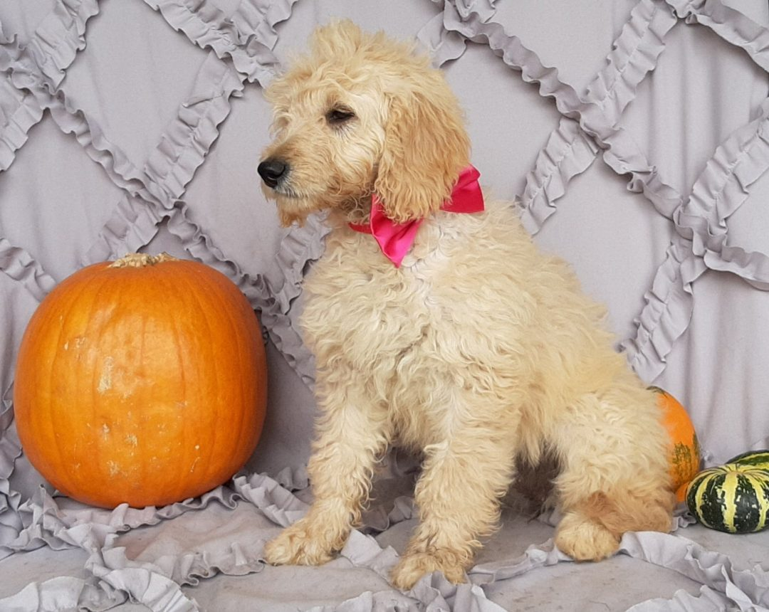 Rosie - Mini Double Doodle pupper for sale in Christiana, Pennsylvania