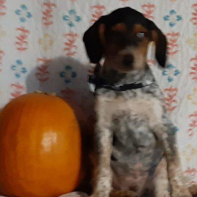 Aikin - Blue Heeler Beagle Mix pup for sale in Delta, Pennsylvania