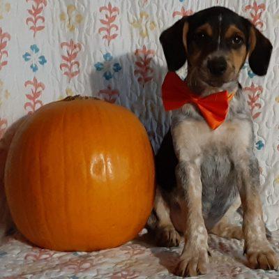 Libby - Blue Heeler Beagle Mix pupper for sale at Delta, Pennsylvania