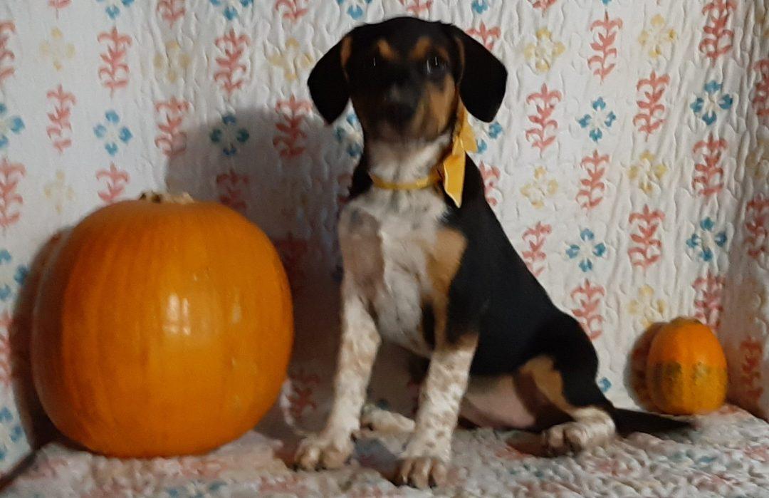 Alma - Blue Heeler Beagle Mix doggie for sale in Delta, Pennsylvania
