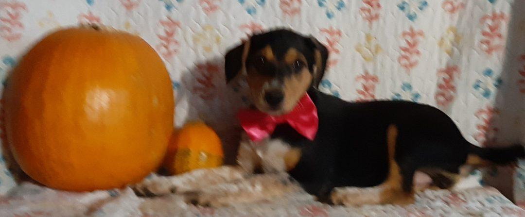 Babbs - Blue Heeler Beagle Mix puppy for sale at Delta, Pennsylvania