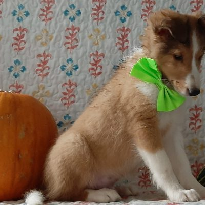 Luther - Shelti pup for sale at Kirkwood, Pennsylvania