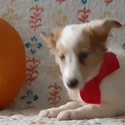 Addie - Shelti pupper for sale in Kirkwood, Pennsylvania