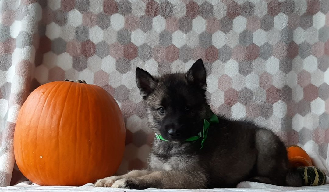 Atlas - Keeshond Husky Mix puppie for sale in Kirkwood, Pennsylvania