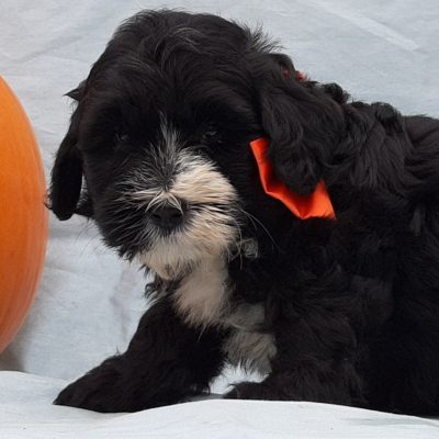 Xena - Micro Mini Bernedoodle pupper for sale in Rising Sun, Maryland (Copy)