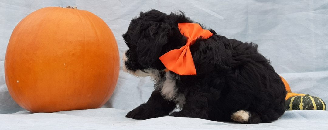 Xena - Micro Mini Bernedoodle pupper for sale in Rising Sun, Maryland