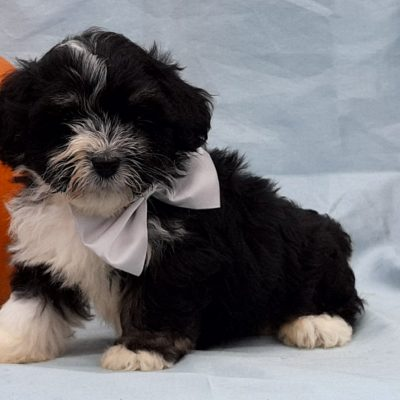 Zeke - Micro Mini Bernedoodle pupper for sale in Rising Sun, Maryland