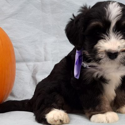 Babe - Micro Mini Bernedoodle pupper for sale in Rising Sun, Maryland