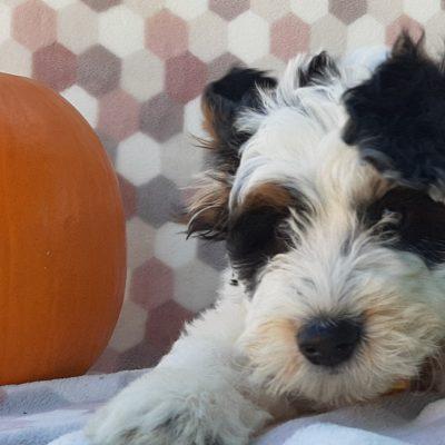 Duffy - Mini Bernedoodle pup for sale near Delta, Pennsylvania