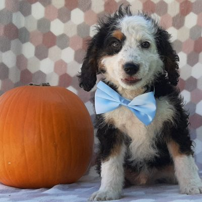 Boots - Mini Bernedoodle puppy for sale at Delta, Pennsylvania