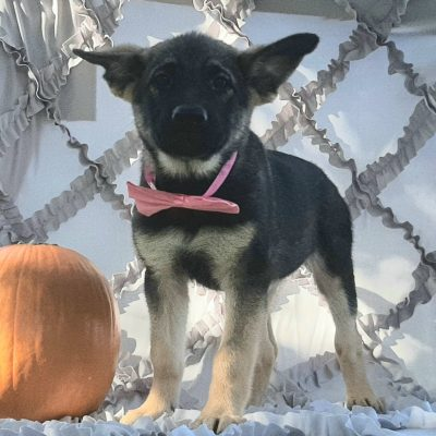 Della - German Shepherd/Elkhound mix doggie for sale in Paradise, Pennsylvania