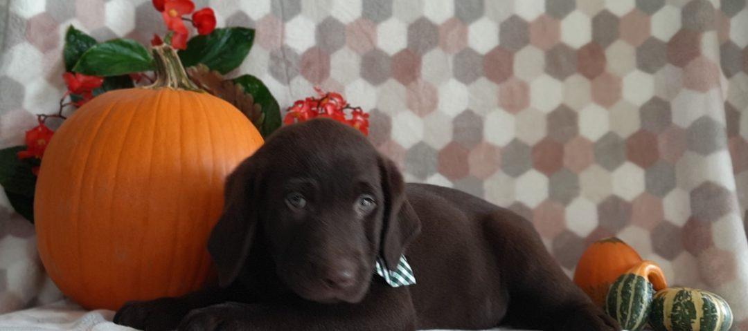 Eli - Chocolate Labrador retriever puppie for sale near Paradise, Pennsylvania