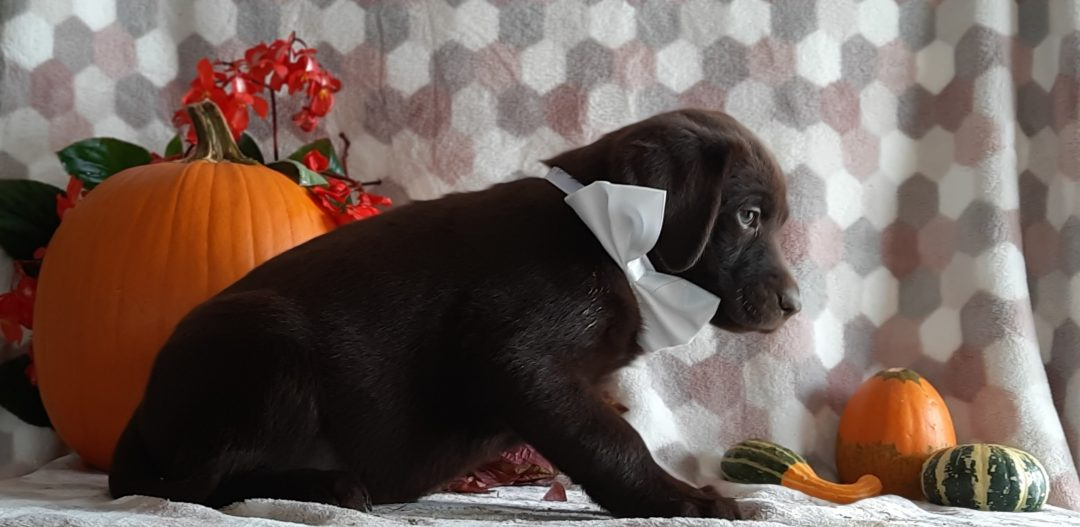 Tasha - Chocolate Labrador retriever pup for sale near Paradise, Pennsylvania