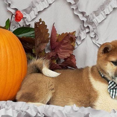 Popcorn - ACA Shiba Inu doggie for sale near Pequea, Pennsylvania