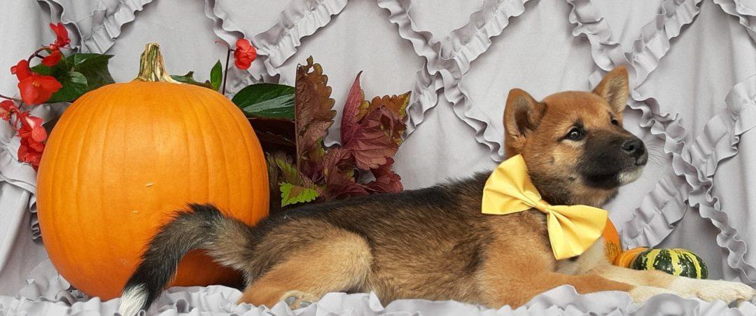 Seneca - female ACA Shiba Inu pupper for sale in Pequea, Pennsylvania