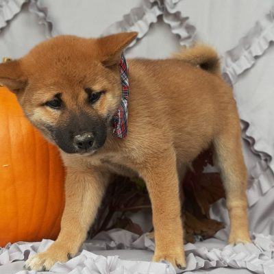 Foxy - ACA Shiba Inu puppy for sale near Pequea, Pennsylvania