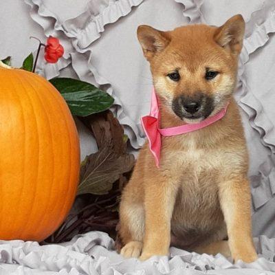 Nala - ACA Shiba Inu puppy for sale near Pequea, Pennsylvania
