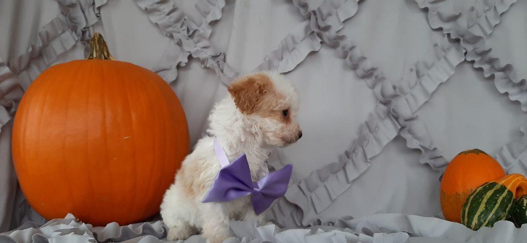 Midge - Cockapoo pup for sale at Rising Sun, Maryland