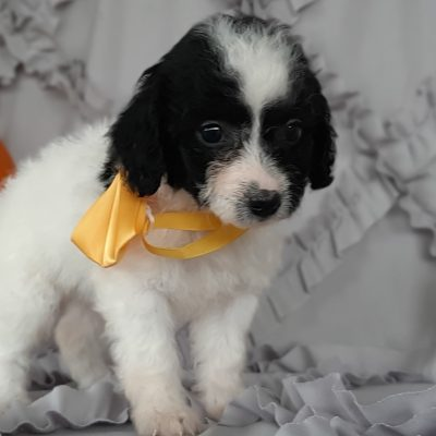 Olive - Cockapoo pupper for sale near Rising Sun, Maryland