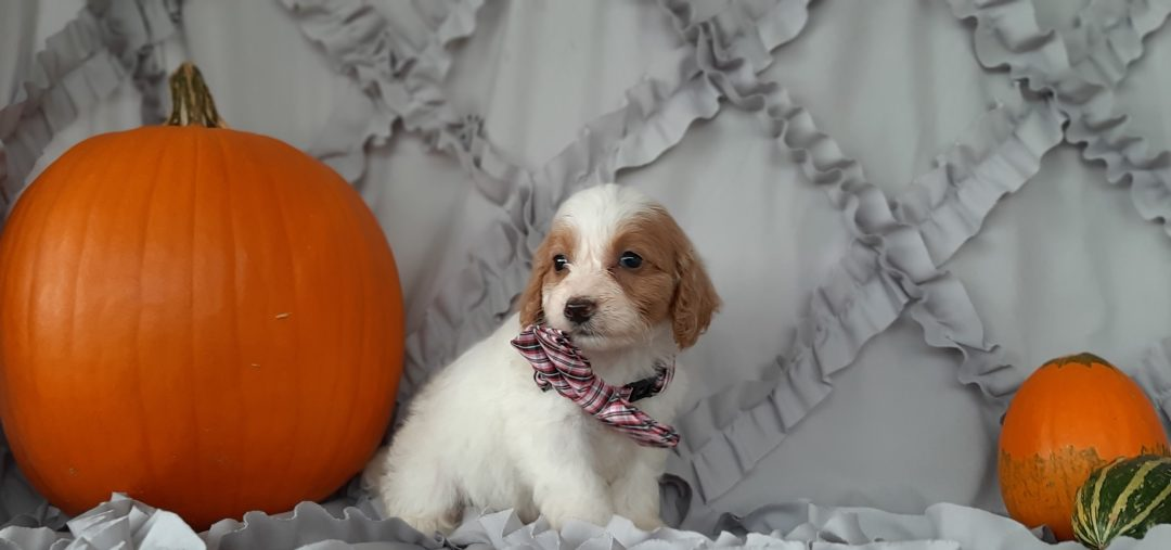Lucky - puppy Cockapoo for sale near Rising Sun, Maryland