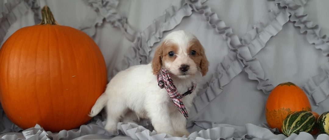 Alfie - Cockapoo doggie for sale at Rising Sun, Maryland
