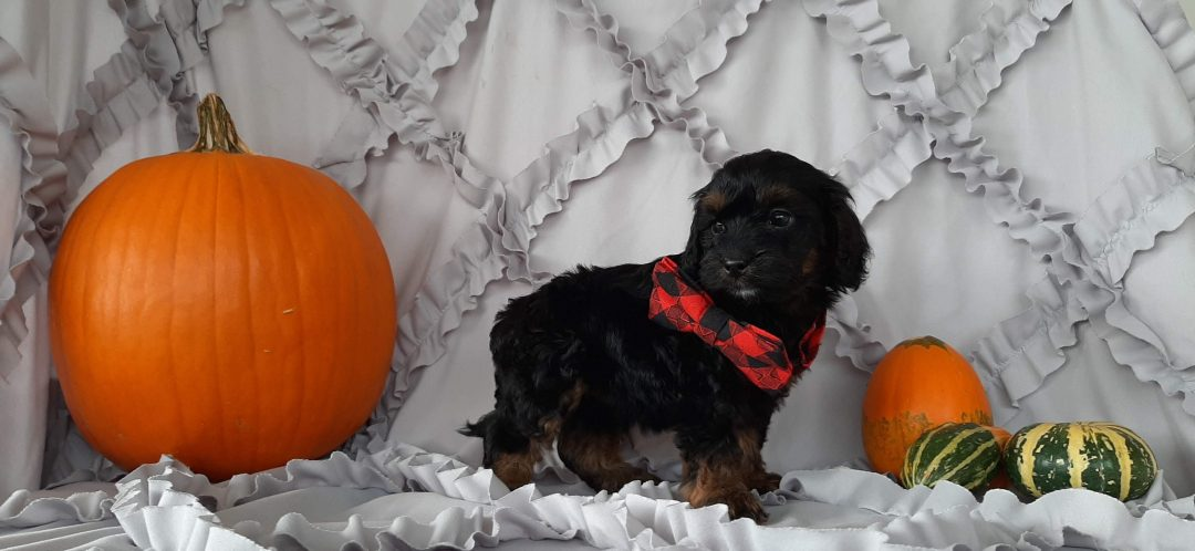 Lucky - Cockapoo pupper for sale near Rising Sun, Maryland