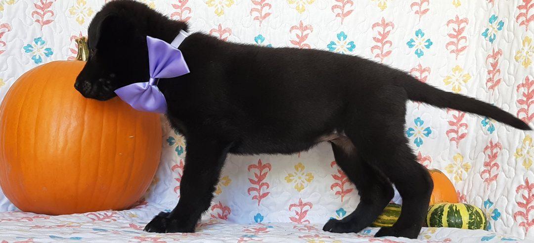 Lucy - German Shepherd doggie for sale near New Providence, Pennsylvania