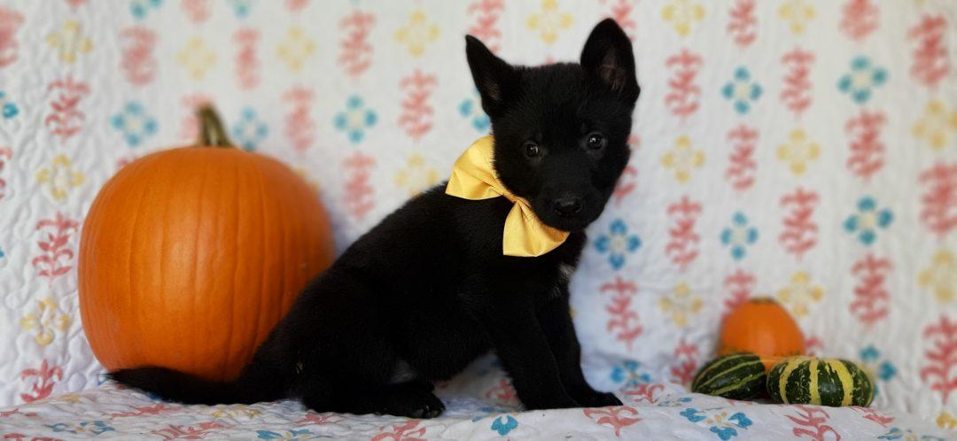 Cherish - German Shepherd puppy for sale in New Providence, Pennsylvania