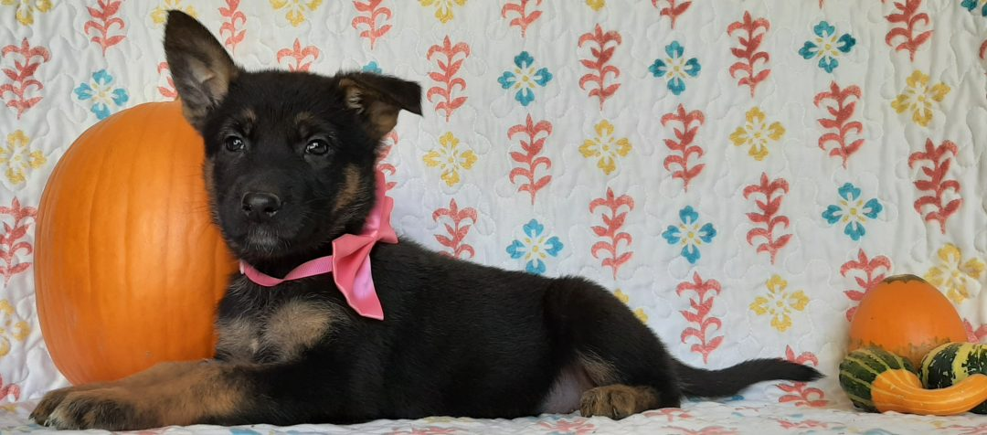 Penny - German Shepherd pup for sale at New Providence, Pennsylvania