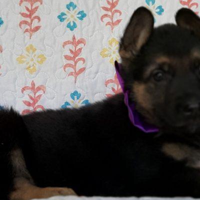Matilda - German Shepherd pupper for sale near New Providence, Pennsylvania
