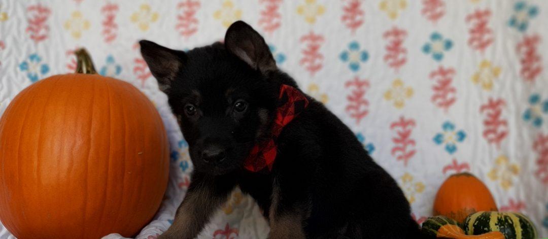 Grant - puppie German Shepherd for sale in New Providence, Pennsylvania