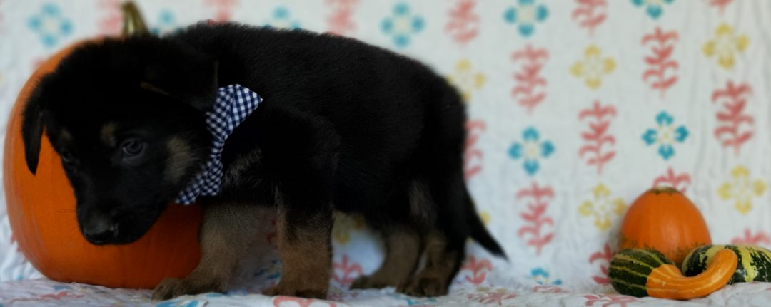 Sherwin - German Shepherd doggie for sale at New Providence, Pennsylvania
