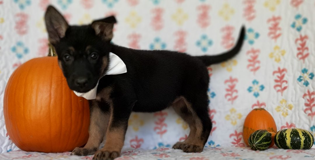 Hazel - German Shepherd puppy for sale near New Providence, Pennsylvania