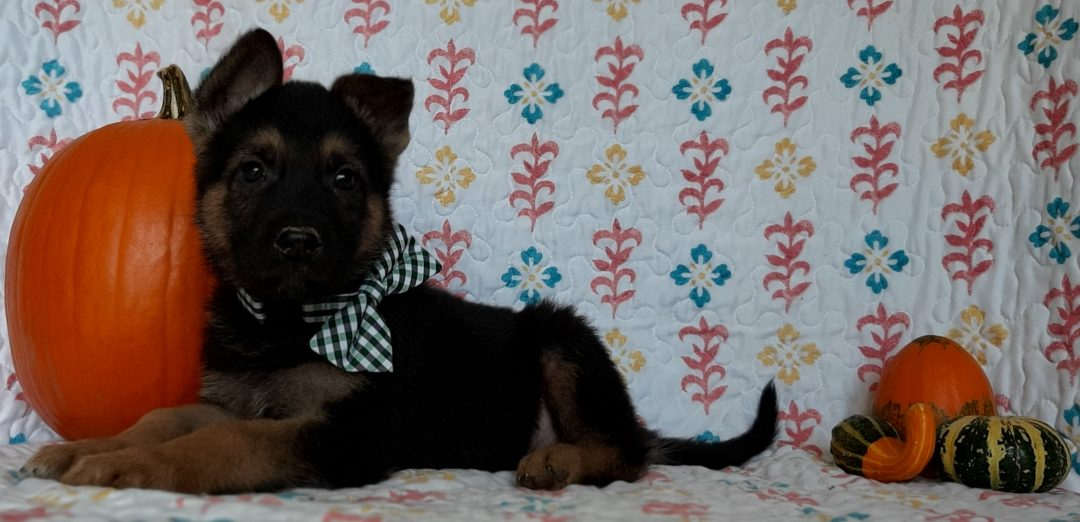 Wally - German Shepherd pupper for sale at New Providence, Pennsylvania
