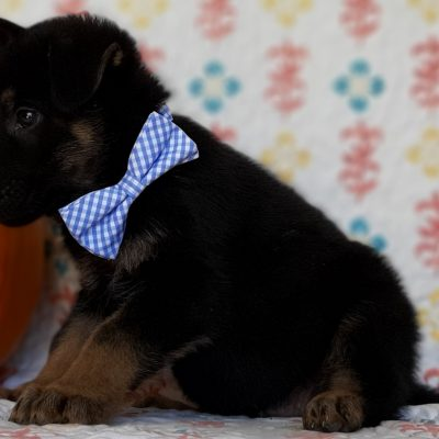 Truman - male German Shepherd puppie for sale near New Providence, Pennsylvania