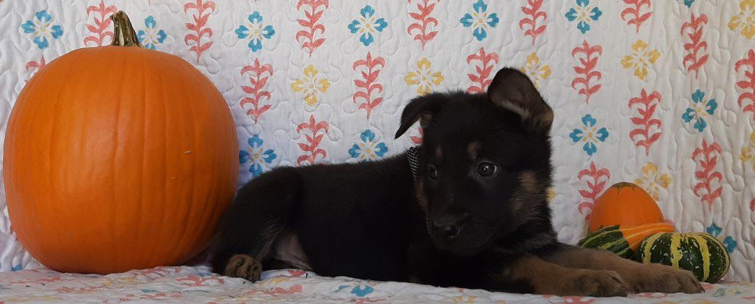 Wilson - German Shepherd doggie for sale in New Providence, Pennsylvania