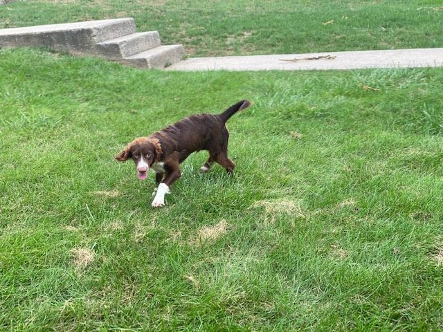 Moses -male Springerdoodles doggie for sale near Christiana, Pennsylvania
