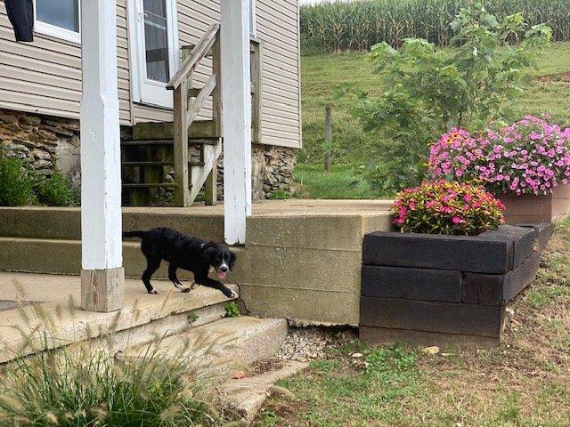Tucker -Springerdoodles pupper for sale at Christiana, Pennsylvania