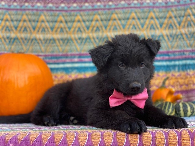 Nelly - AKC German Shepherd pupper for sale at New Providence, Pennsylvania