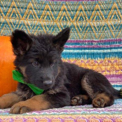 WIllard - AKC German Shepherd - Long haired - Black - New Providence PA (Copy)