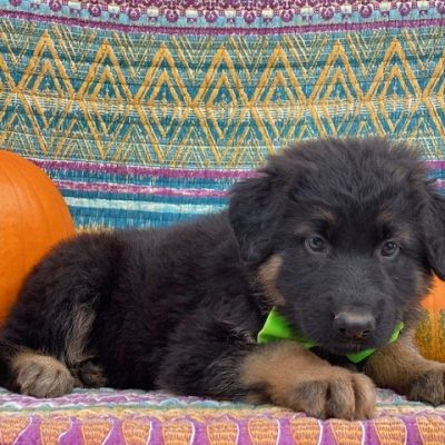 Thor - AKC German Shepherd - Long haired - Black - New Providence PA