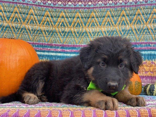 Thor - AKC German Shepherd doggie for sale in New Providence, Pennsylvania