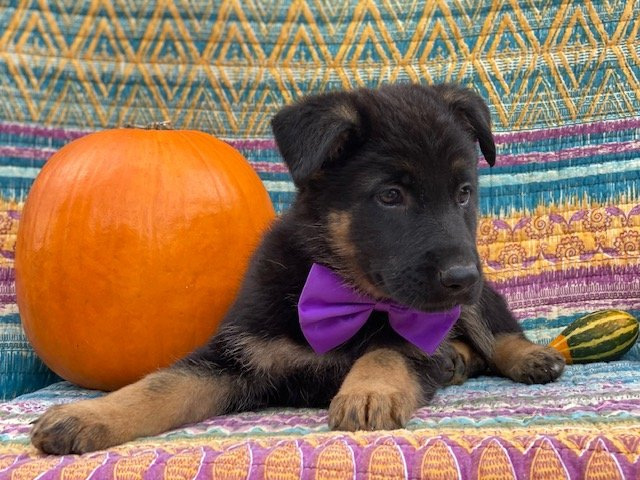 Amber - AKC German Shepherd puppy for sale at New Providence, Pennsylvania