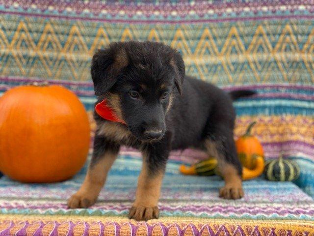 Izzy - AKC German Shepherd pup for sale near New Providence, Pennsylvania