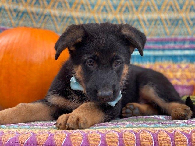 Jasper - AKC German Shepherd puppie for sale at New Providence, Pennsylvania