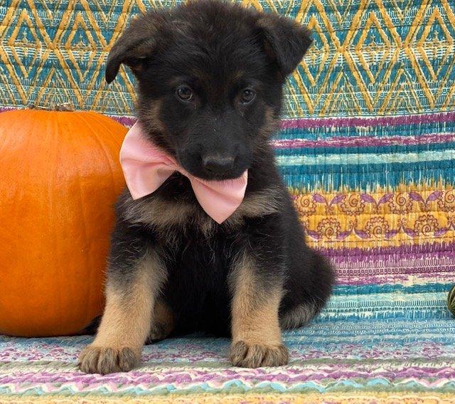 Cora - AKC German Shepherd puppie for sale near New Providence, Pennsylvania