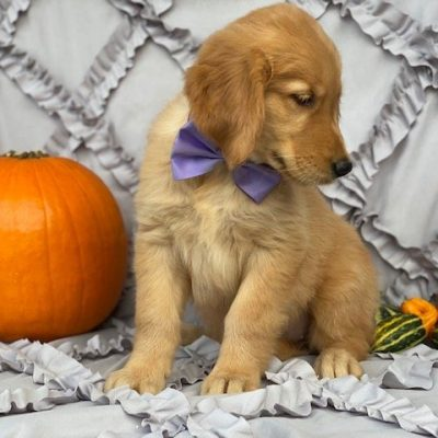 Autumn - Red Golden Retriever pup for sale near Peachbottom, Pennsylvania