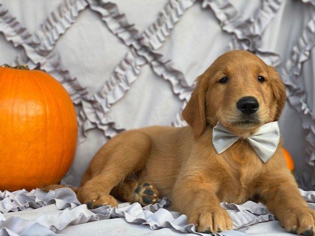 Hero - puppie Red Golden Retriever for sale at Peachbottom, Pennsylvania