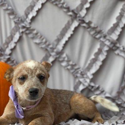 Quinn - Australian cattle dog pup for sale in Peachbottom, Pennsylvania