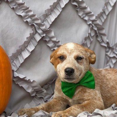 Digger - male Australian cattle doggie for sale in Peachbottom, Pennsylvania